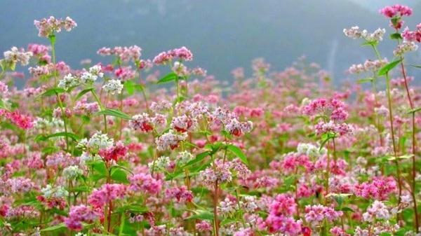 Chẳng cần đến miền Bắc xa xôi, cách An Giang không xa có một vườn hoa tam giác mạch đẹp quên lối về