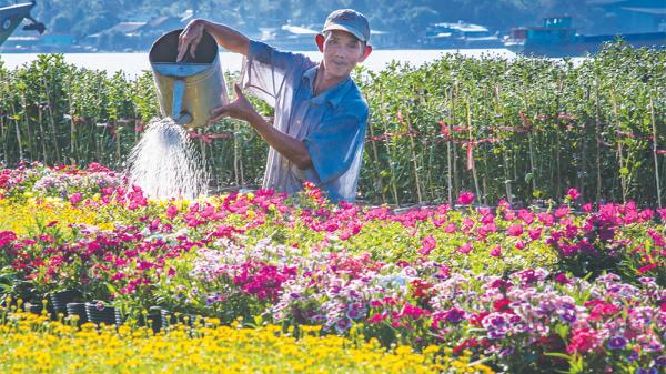 Ngất ngây với những cánh đồng hoa Tết Mậu Tuất ở An Giang