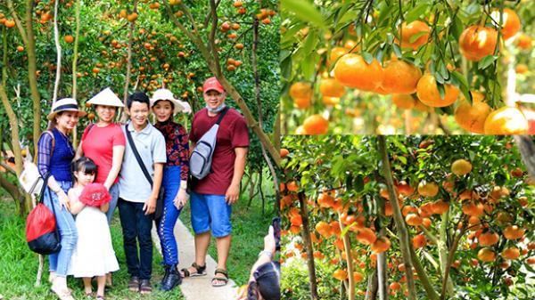 BẠN BIẾT CHƯA? Ngay gần An Giang có một vườn quýt hồng hút hàng ngàn người trẻ tới đây dịp Tết này!