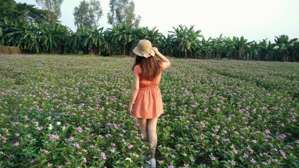 Tết này nếu có về xứ lúa An Giang, nhớ ghé thăm cánh đồng hoa dừa cạn Phú Tân đang mùa rực rỡ nhé!