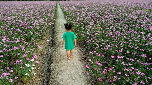 Không ngờ An Giang còn có một cánh đồng hoa dừa cạn nở rộ đẹp đến lịm tim thế này