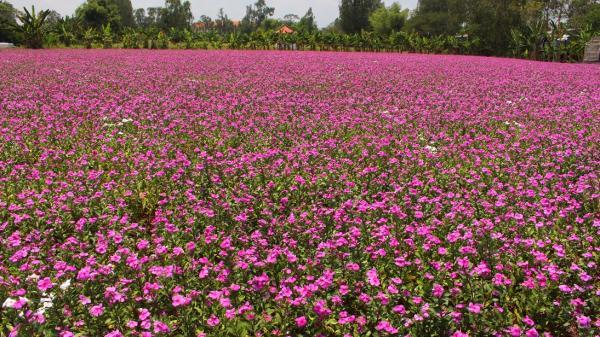 Cận cảnh cánh đồng hoa dừa cạn 'vạn người mê' ở An Giang
