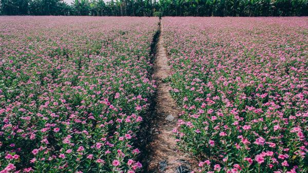 Mãn nhãn với cánh đồng hoa dừa cạn tím biếc đầy lãng mạn ở An Giang