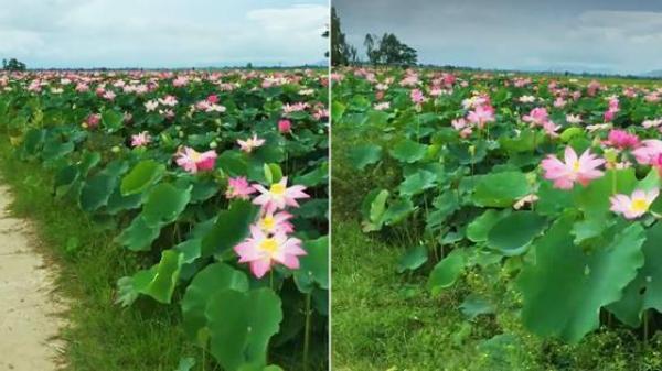 """Choáng ngợp trước cánh đồng hoa sen """"siêu khủng"""" nở rộ rực rỡ, dài rộng ngợp trời ở An Giang"""