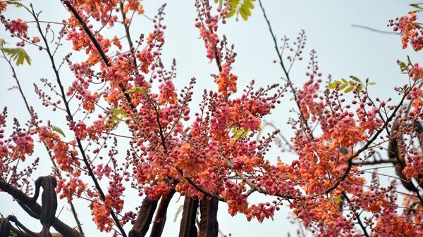 Mãn nhãn màu hoa anh đào của miền Tây khiến giới trẻ chao đảo