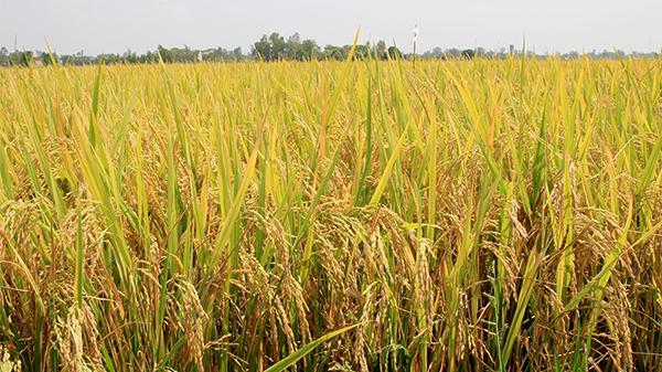 Dẻo thơm nếp Phú Tân: Đặc sản của miền đất trù phú nhất An Giang