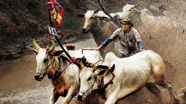"""Lễ hội đua bò Bảy Núi được tái hiện sinh động trong bộ ảnh """" Dấu ấn Việt Nam"""""""