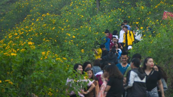 Có gì hấp dẫn hàng ngàn người đến rừng dã quỳ Ba Vì?