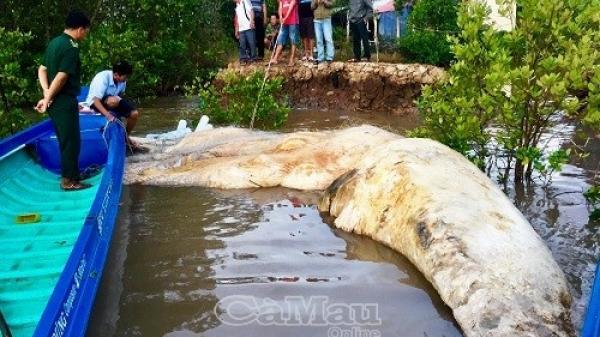 Ngư dân phát hiện xác cá voi khủng dài 17 m ở giáp ranh tỉnh Bạc Liêu, được người dân mang về thờ cúng
