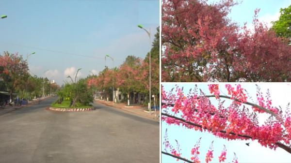Miền Tây: Xuất hiện 2 con đường rực rỡ sắc hoa ô môi đẹp mê mẩn lòng người