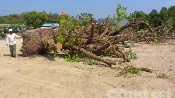 An Giang: Dân Bảy Núi ồ ạt bứng cây trâm cổ thụ cho thương lái, tất cả đang dần bị biến mất