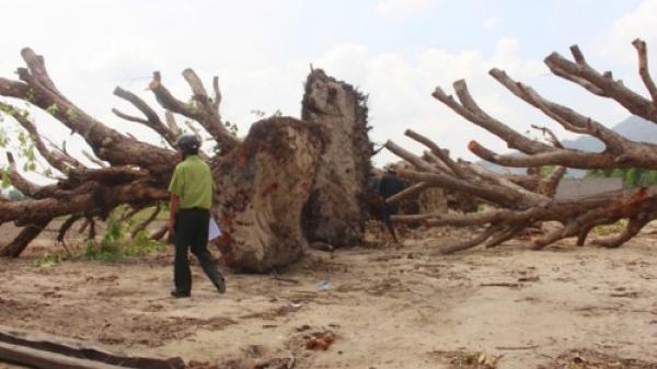 """Bất ngờ những cây cổ thụ rừng ở An Giang bị đào về làm cảnh trong nhà """"đại gia"""" có tiếng"""