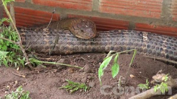 An Giang: Sẽ tịch thu 2 con rắn hổ mây nặng 60kg?