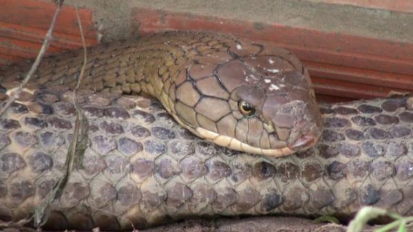 """An Giang: Thông tin mới về số phận của cặp rắn """"khủng"""" nặng 60 kg, dài hơn 6m vừa bắt được dưới chân núi Cấm"""