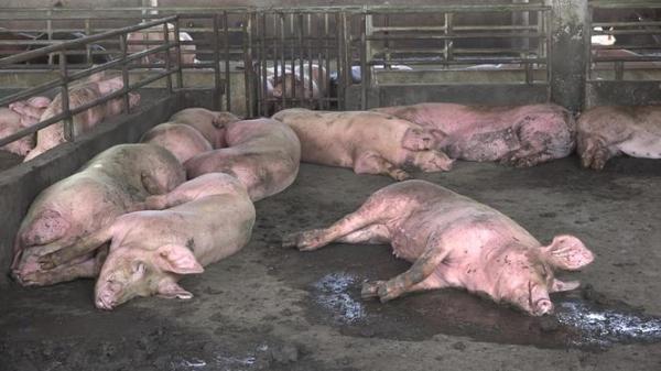 Xuất hiện thêm ổ dịch tả lợn Châu Phi nguy hiểm, Hậu Giang tiêu huỷ hơn 1.200 con lợn