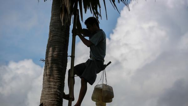 An Giang: Người đàn ông gian nan 15 năm vắt vẻo trên cây thốt nốt mưu sinh ở miền Tây