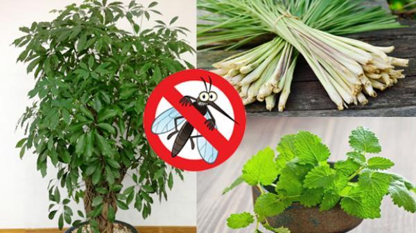 Chỉ cần trồng cây này, cả nhà bạn sẽ không có con muỗi nào