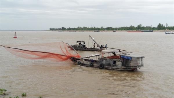 Cá linh cuối mùa đổ ra sông Tiền ngay khu vực Tân Châu (An Giang), ngư dân 'trúng mánh'