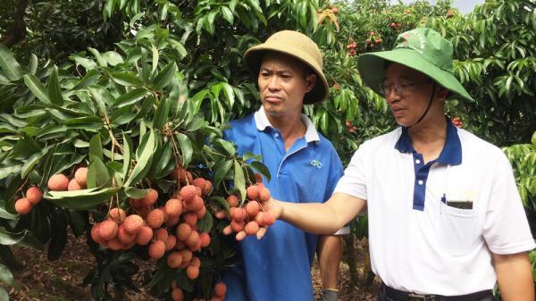 Tân Sơn - Lục Ngạn:  nhộn nhịp mùa vải chín muộn