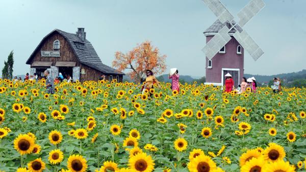 """Chiêm ngưỡng """"thiên đường"""" hoa Hướng dương khiến giới trẻ ngây ngất ở Bắc Giang"""