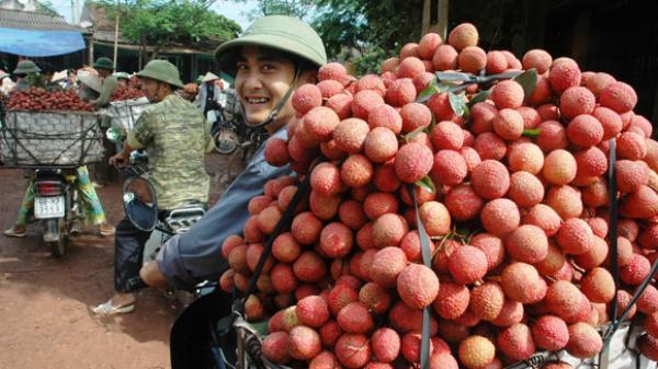 Vải đầu mùa ở Bắc Giang giá bán từ 30-35 nghìn đồng/kg