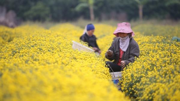 """Ngất ngây bên vườn cúc """"tiến vua"""" đẹp như tranh vẽ ở Hưng Yên"""