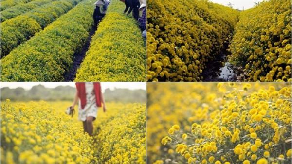 Tết Dương lịch nhất định phải tới Hưng Yên để check-in cánh đồng hoa cúc đẹp như tranh vẽ