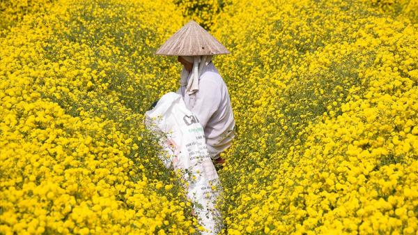 """""""Đã mắt"""" trước cánh đồng cúc tiến vua khoe sắc rực rỡ cận Tết ở Hưng Yên"""