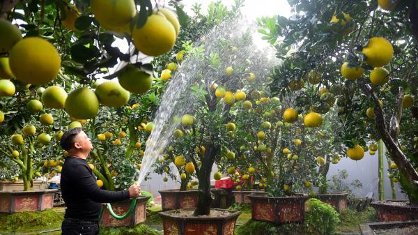 Vườn bưởi cảnh Tết của lão nông Hưng Yên thu tiền tỷ