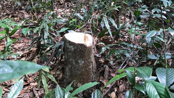 """Rừng Tây Yên Tử ở Bắc Giang lại """"chảy máu"""""""