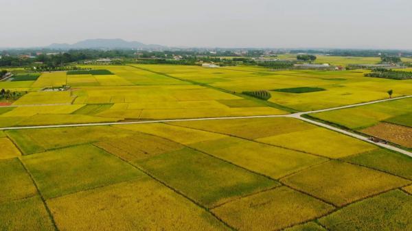 Bắc Giang: Say đắm mùa lúa chín vàng như bức thổ cẩm