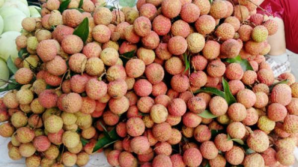 Bắc Giang: 100.000 đồng/kg vải đầu mùa, thương lái lãi 2 triệu đồng/ngày, còn người trồng vải ra sao?