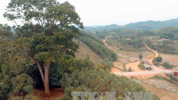 Chuyện về cây Lim xanh nghìn năm ở Yên Thế trở thành cây di sản Việt Nam