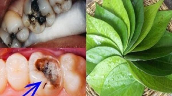 Sâu răng buốt đến tận óc cũng tự khắc khỏi, viêm nướu, nhiệt miệng sẽ hết nhờ vò nắm trầu không sắc lấy nước ngậm 5 phút trước khi ngủ