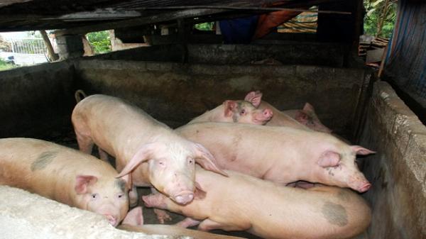 Chợ Đồn: Triển khai nhiều biện pháp giúp người chăn nuôi