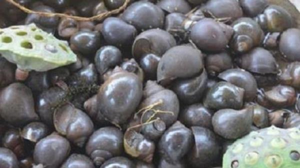 Cần sớm xác định nguyên nhân khiến ốc nhồi chết hàng loạt ở Bắc Kạn