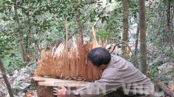 Bắc Kạn: Cây gỗ nghiến tiếp tục bị hạ tại Vườn quốc gia Ba Bể