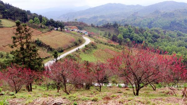 Ngân Sơn: Đào muộn khoe sắc
