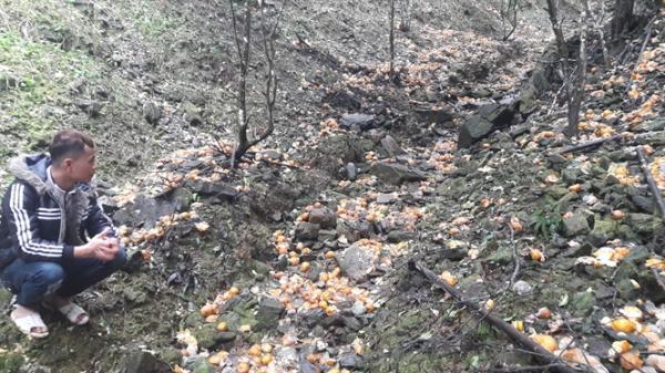 Quýt Bắc Kạn rụng la liệt, thiệt hại chục tỷ đồng, người nông dân trắng tay