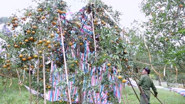 Nể phục cách người trồng quýt Bắc Kạn chống chọi với mẹ thiên nhiên