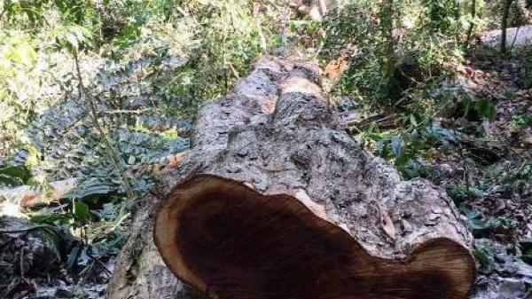 Bắc Kạn: Báo động tình trạng khai thác rừng cấm