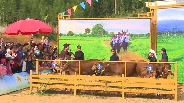 Chương trình Lục lạc vàng trao tặng bò tại xã Cốc Đán, huyện Ngân Sơn