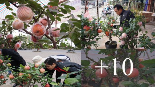Táo bonsai Trung Quốc hàng triệu đồng/cây Tết 2018: Người bán tiết lộ sự thật 'sốc'