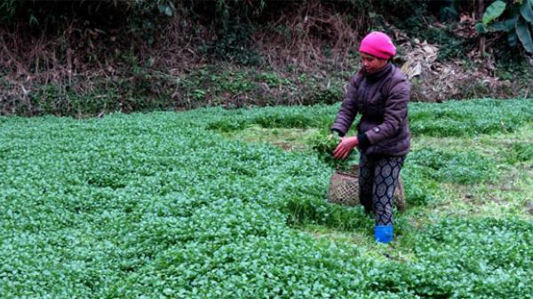"""Sốc với thu nhập """"khủng"""" của người nông dân Bắc Kạn nhờ trồng loại rau đang cực HOT"""