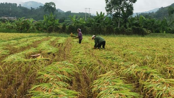 Bắc Kạn: Đẩy nhanh tiến độ thu hoạch lúa vụ xuân