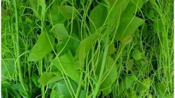 Bất ngờ tác dụng chữa bệnh của cây rau bò khai