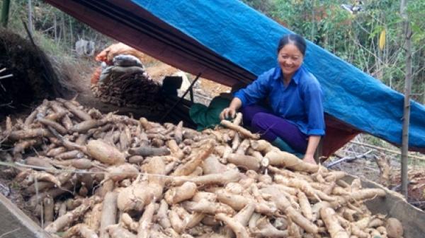 Nông dân Ngân Sơn đổi đời nhờ trồng sắn