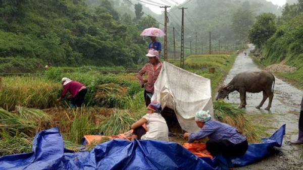 Người dân Pác Nặm thu hoạch lúa trong mưa
