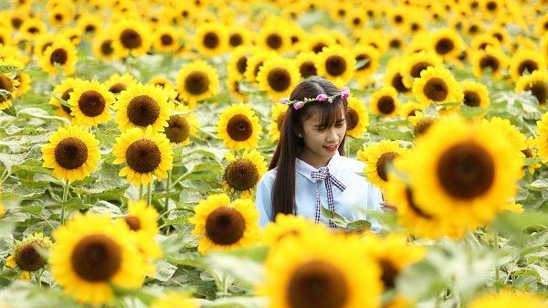 Ngay gần An Giang có cánh đồng hoa hướng dương khổng lồ đẹp quên lối về