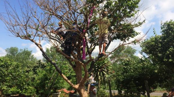 Chiêm ngưỡng cây mai vàng bạc tỷ, khách trả giá hơn 2 tỷ chưa bán ở Vĩnh Long